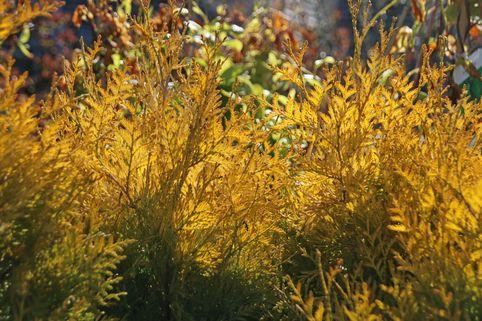 Lebensbaum 'Sunkist' - Thuja occidentalis 'Sunkist'