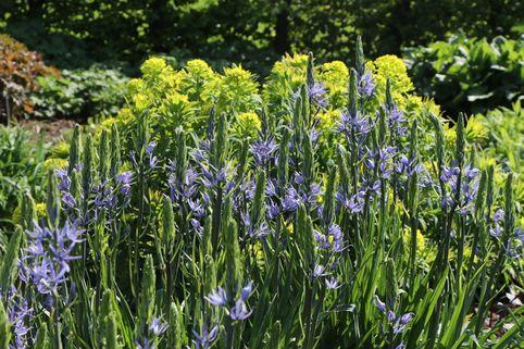 Leichtlins Prärielilie - Camassia leichtlinii