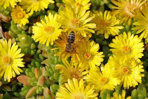 Lesotho Mittagsblume - Delosperma nubigenum
