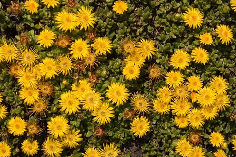 Lesotho Mittagsblume - Delosperma lineare