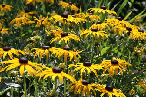 Leuchtender Sonnenhut 'Goldsturm' - Rudbeckia fulgida var. sullivantii 'Goldsturm'