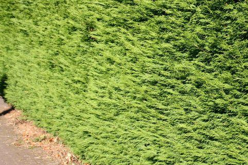 Leyland-Zypresse / Grüne Baumzypresse / Riesenzypresse - Cupressocyparis leylandii