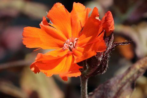 Lichtnelke 'Orange Zwerg' - Lychnis x arkwrightii 'Orange Zwerg'