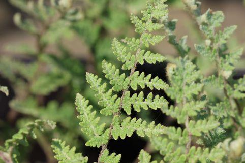 Lippenfarn - Cheilanthes lanosa