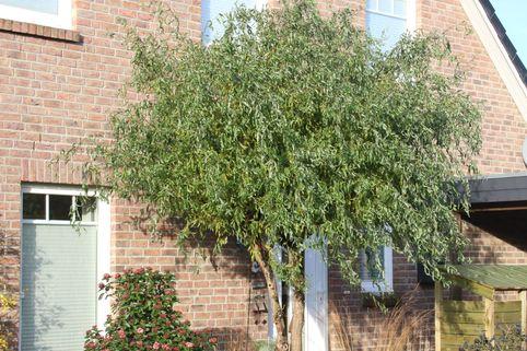 Lockenweide - Salix erythroflexuosa