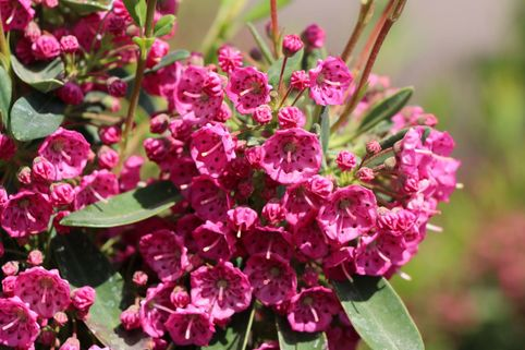 Lorbeerröslein 'Purpurflor' - Kalmia angustifolia 'Purpurflor'