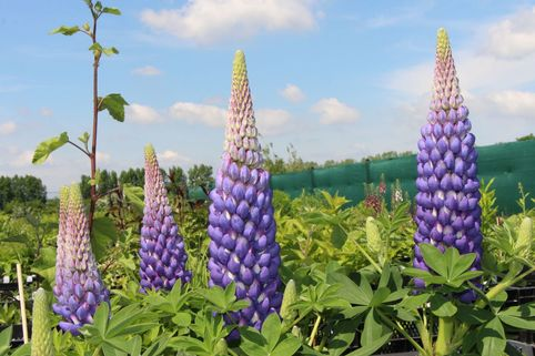 Lupine 'Persian Slipper' - Lupinus polyphyllus 'Persian Slipper' ®