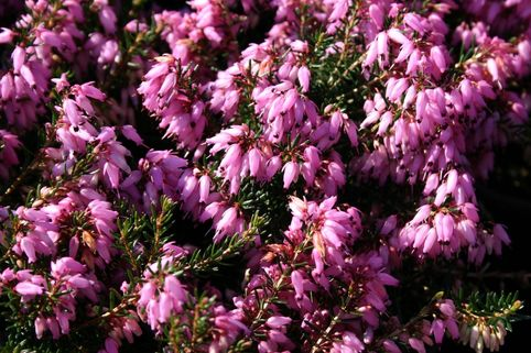 Märzenheide 'March Seedling' - Erica carnea 'March Seedling'