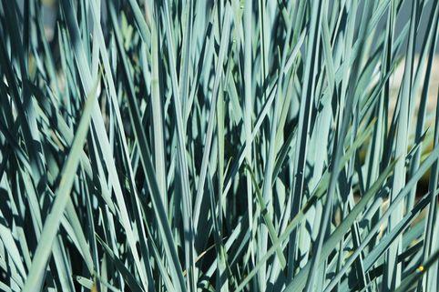 Magellan-Gras / Magellan-Weizengras / Blaugras - Agropyron magellanicum / Elymus magellanicus