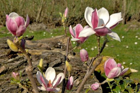 Magnolia 'Satisfaction' ® - Magnolia 'Satisfaction' ®