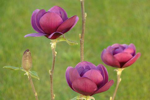 Magnolie 'Black Tulip' - Magnolia 'Black Tulip'