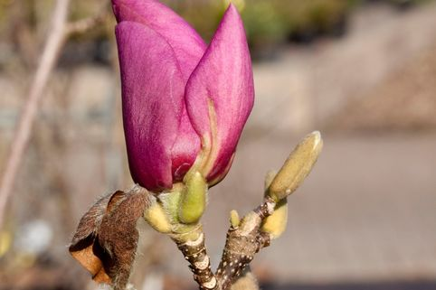 Magnolie 'Cleopatra' - Magnolia 'Cleopatra'