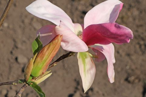 Magnolie 'Daybreak' - Magnolia 'Daybreak'
