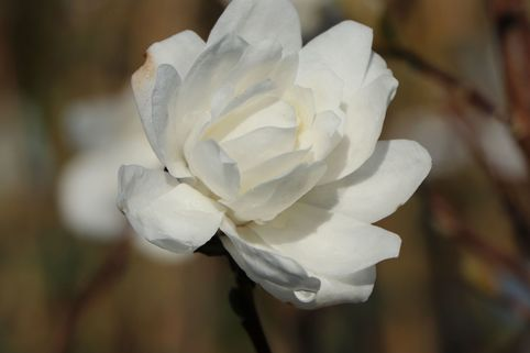 Magnolie 'White Rose' - Magnolia x loebneri 'White Rose'
