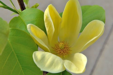 Magnolie 'Yellow Bird' - Magnolia 'Yellow Bird'