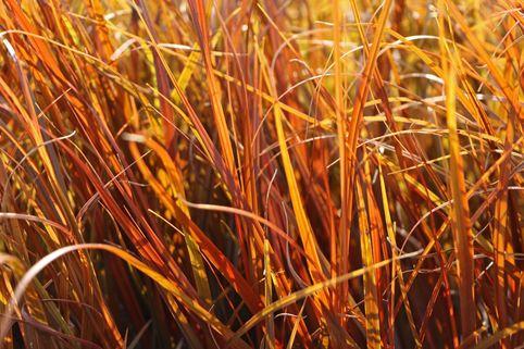 Mahagonigras - Uncinia rubra