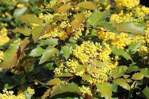 Mahonie 'Apollo' - Mahonia aquifolium 'Apollo'