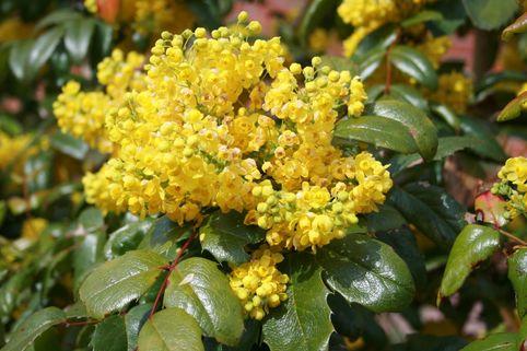 Mahonie - Mahonia aquifolium