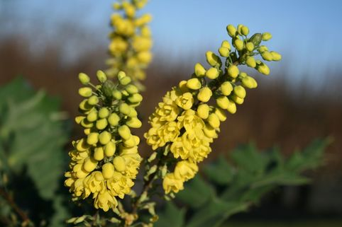 Mahonie 'Winter Sun' - Mahonia media 'Winter Sun'