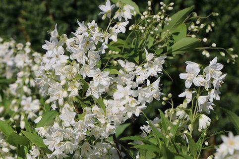 Maiblumenstrauch / Deutzie - Deutzia gracilis