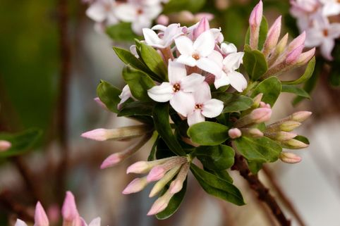 Maien-Seidelbast - Daphne burkwoodii 'Somerset'