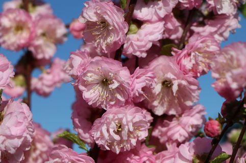 Mandelbäumchen / Mandelstrauch - Prunus triloba ...