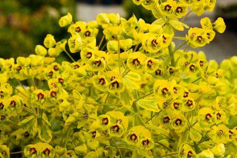 Mandelblättrige Wolfsmilch 'Ascott Rainbow' - Euphorbia x martinii 'Ascot Rainbow'