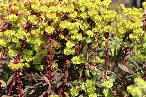 Mandelblättrige Wolfsmilch - Euphorbia amygdaloides var. robbiae