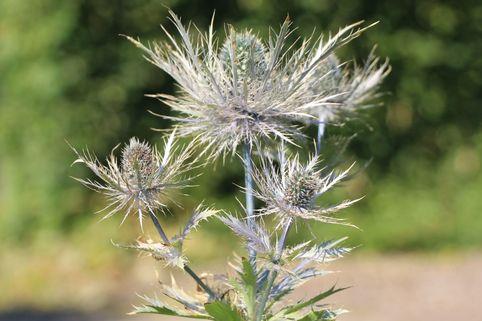 Mannstreu 'Blue Star' - Eryngium alpinum 'Blue Star'