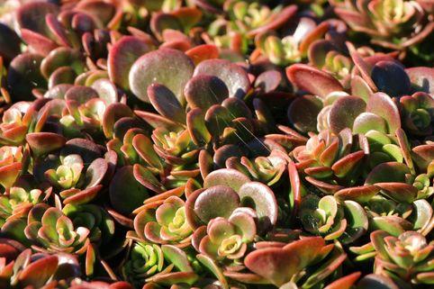 Mauerpfeffer 'Coral Reef' - Sedum tetractinum 'Coral Reef'