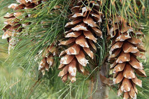 Mazedonische Kiefer / Rumelische Kiefer - Pinus peuce