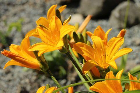 Middendorffs Taglilie - Hemerocallis middendorffii