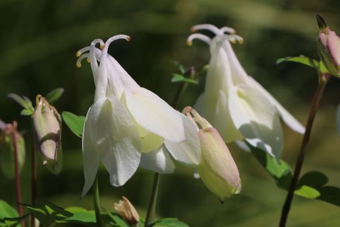 Miniatur-Akelei 'Cameo Weiß' - Aquilegia flabellata 'Cameo Weiß'