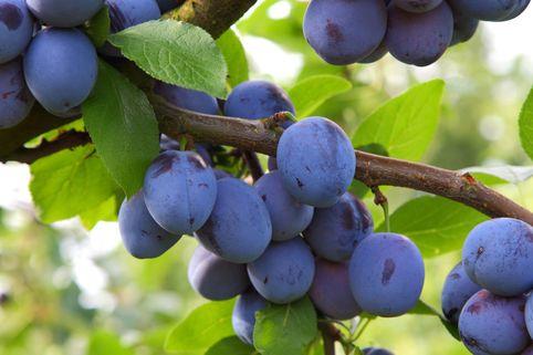 Ministämmchen Pflaume / Zwetsche 'Jojo' ® - Prunus domestica 'Jojo' ®