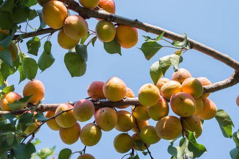 Mirabellen-Aprikose 'Mirakose' ® - Prunus 'Mirakose' ®