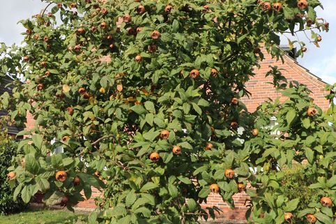 Mispel 'Nottingham' - Mespilus germanica 'Nottingham'