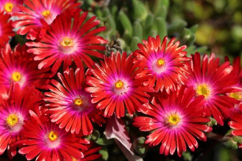 Mittagsblume 'Jewel of Desert Garnet' - Delosperma cooperi 'Jewel of Desert Garnet'