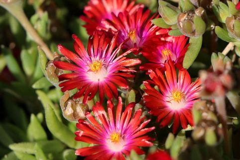Mittagsblume 'Red Mountain' - Delosperma dyeri 'Red Mountain'