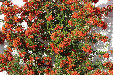 Mittelmeer-Feuerdorn 'Red Star' ® - Pyracantha coccinea 'Red Star' ®