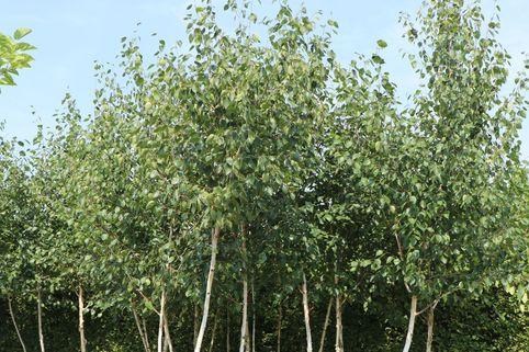 Moor Birke / Sumpfbirke - Betula pubescens