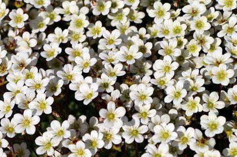 Moos-Steinbrech 'White Pixie' - Saxifraga x arendsii 'White Pixie'