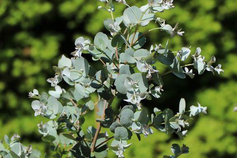 Mostgummi-Eukalyptus 'Azura' - Eucalyptus gunnii 'Azura'