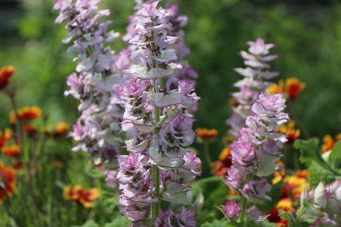 Muskateller Salbei - Salvia sclarea
