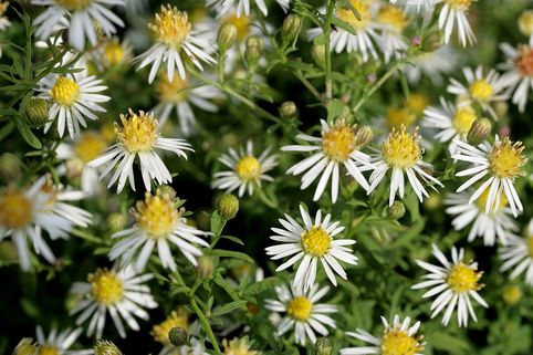 Myrten Aster 'Golden Spray' - Aster ericoides 'Golden Spray'