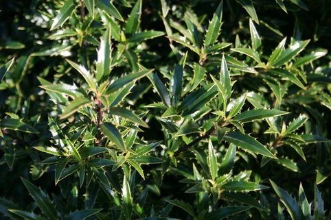 Myrtenblättrige Hülse 'Myrtiflora' - Ilex aquifolium 'Myrtifolia'