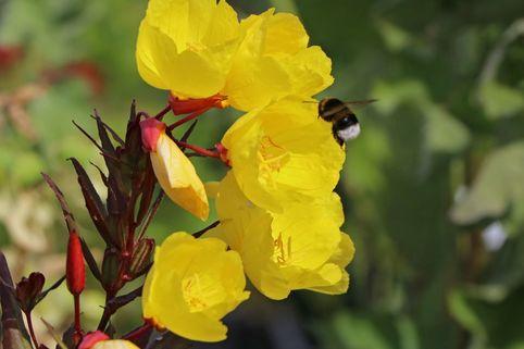 Nachtkerze 'Erica Robin' - Oenothera tetragona 'Erica Robin'