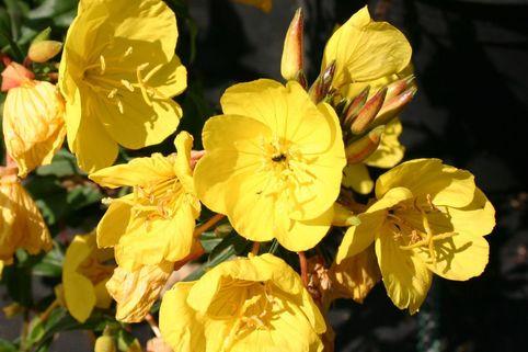 Nachtkerze 'Fyrverkeri' - Oenothera tetragona 'Fyrverkeri'