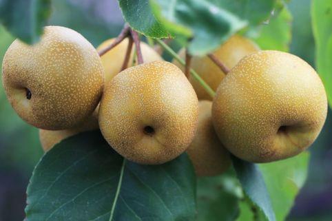 Nashi Asienbirne Apfelbirne Benita ®