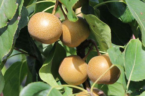Nashi / Asienbirne / Asiatische Apfelbirne 'Chojuro' - Pyrus pyrifolia 'Chojuro'
