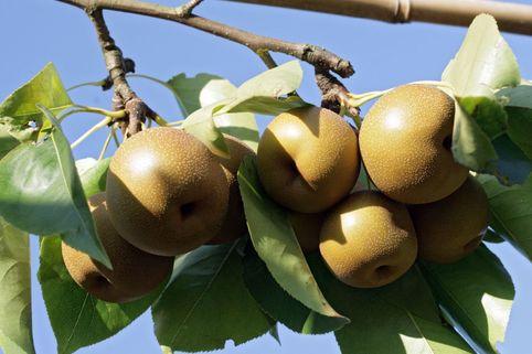 Nashi / Asienbirne / Asiatische Apfelbirne 'Kumoi' - Pyrus pyrifolia 'Kumoi'